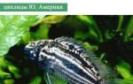 Наннакара полосатая: содержание, совместимость, уход, размножение, фото-видео обзор
