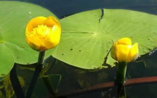Кубышка жёлтая или кувшинка жёлтая: описание, фото-видео обзор