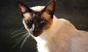 Сиамские котики нашей читательницы из Эстонии Галины