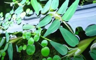 Гигрориза — Hygrorhiza aristata: содержание, фото-обзор