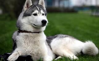 Восточно-сибирская лайка: описание породы — Моя собака