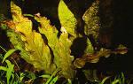Барклайя длиннолистная красная или барклая лонгифолия: содержание, фото-видео обзор