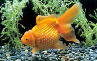 Жемчужина — золотая рыбка: фото-видео обзор