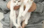 Два котенка выросли из кроватки, но все еще делят ее между собой