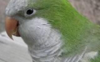 Попугай монах — уход и содержание в домашних условиях