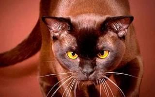 Самые шоколадные породы кошек: описание, фото