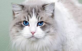 Породы кошек с голубыми глазами: ТОП 11 и 48 фотографий