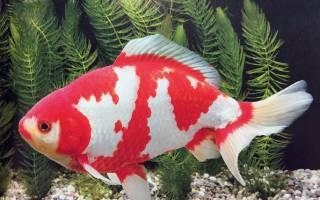 Вакин -золотая рыбка: содержание в аквариуме, фото-видео обзор