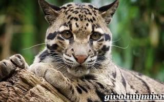 Дымчатый леопард: 25+ фото, виды, питание, содержание дома