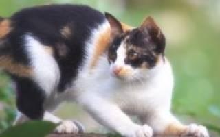 Кот расчесывает себя до болячек и крови: что делать, чем и как лечить