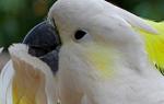 Инсульт у попугая симптомы и лечение