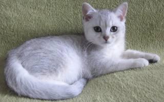 Британская шиншилла: 16 фото, история, характер, советы по уходу и выбору котенка