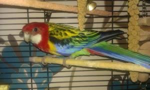 Какие попугаи самые тихие — и подойдут для дома