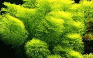 Лимнофила амбулия водная: содержание, фото-видео обзор