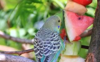 Что можно давать есть волнистому попугаю в домашних условиях кроме корма — список проудктов
