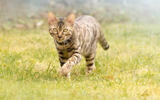 Температура тела кошки: какая нормальная и как померить?