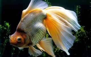 Гирошима — золотая рыбка