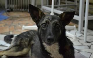 Отек легких у собак: симптомы и лечение