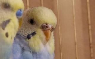 Восковица у волнистого попугая: причины