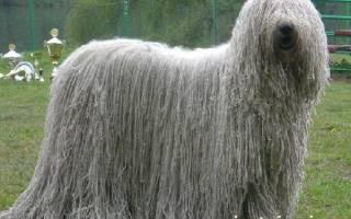 Описание породы собак Комондор (Венгерская овчарка) с отзывами владельцев и фото