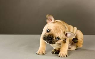 Пиодермия: фото, симптомы и лечение у собак