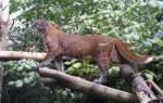 Кошка Темминка или азиатская золотистая: 20+ фото, описание