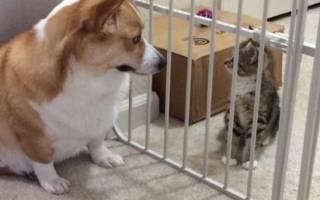 Спасенный котик растет вместе с корги и становится ее другом