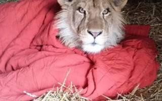 Спасенный лев не может спать без своего одеялка