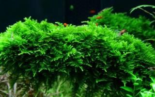 Мох яванский в аквариуме: содержание, закрепление, разведение, фото-видео обзор
