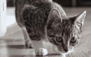 Кот, кошка резко и сильно похудели: главные причины и что делать