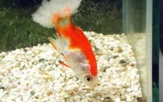 Диплозоон спайник рыб: лечение в аквариуме, фото-видео обзор