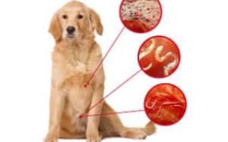 Симптомы и лечение глистов у собак