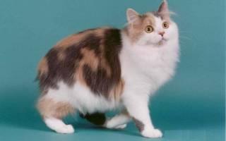 Трехцветные кошки: как выбрать из ТОП 13 пород, 28 фото
