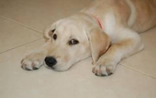 Эклампсия у собак: симптомы и лечение