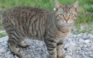 Пятнистые кошки: ТОП 20 пород, похожих на леопарда, 50 фото