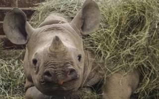 У котика появляется необычный друг Нанди — носорог