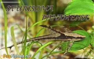 Стурисома панамская: содержание, совместимость, размножение, фото-видео обзор