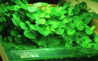 Гидрокотила белоголовая или щитолистник белоголовый: содержание, фото-видео обзор