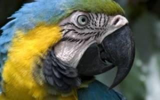 Каши для волнистых попугаев: гречка и рис — можно ли давать?