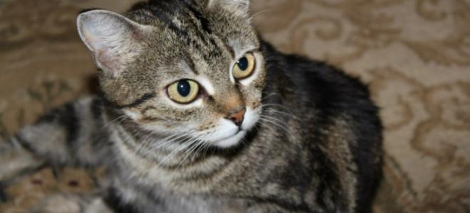 Самые умные породы кошек: ТОП 32 сообразительных питомца
