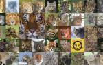 Катопумы: что это за вид кошек и что о них известно, фотографии