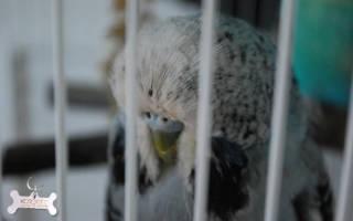 Температура тела волнистого попугая