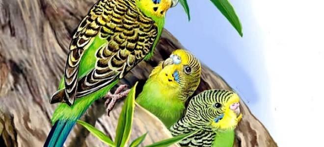 Где живут волнистые попугаи в природе