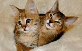 Каракет: цена котенка, 36 фото, история породы кошек, уход за ней