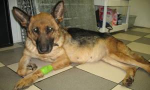 Асцит у собак: симптомы и лечение