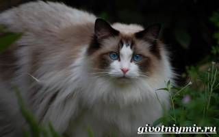 Рэгдолл: описание породы кошек, 45 фото, уход, цена котят