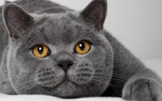 История британской короткошерстной кошки, факты и фото