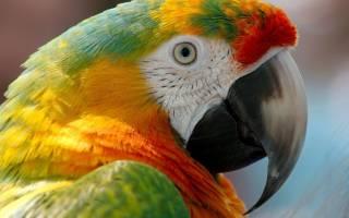 Слоится клюв у волнистого попугая — что делать