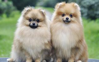 Описание породы собак Немецкий шпиц с отзывами и фото