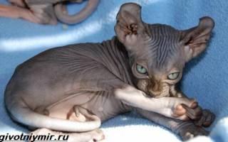 Кошка эльф и двэльф: описание породы, много фото, цена